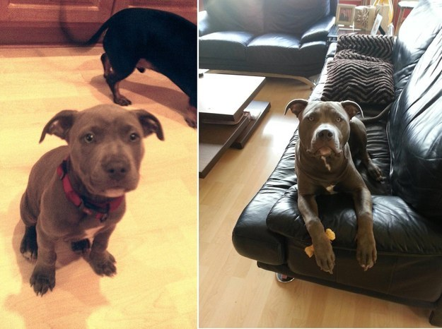 5 And this guy who proves that pit bulls are even CUTER once they're full grown.
